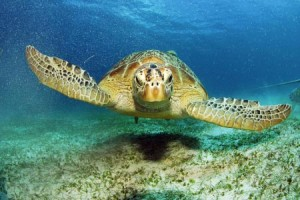 Philippine Giant Sea Turtles