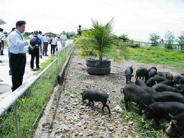 Nueva Ecija pig farm