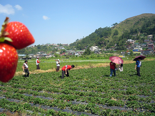 Benguet Strawberry Picking