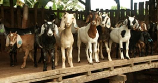 Pangasinan Goat Festival