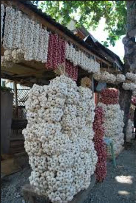 Ilocos Sur Sinait Garlic Festival4